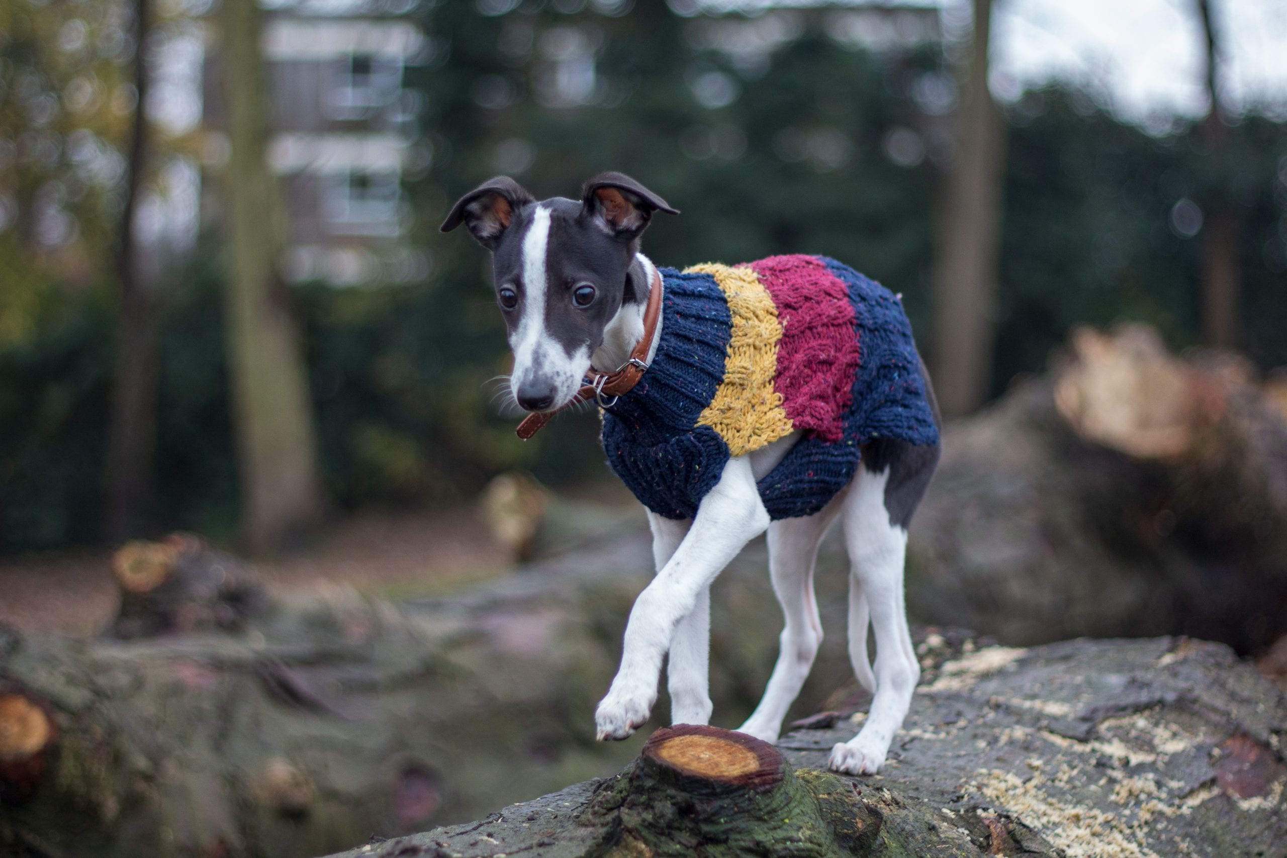 Little dog in a jacket staying at a dog friendly cottage in Holmfirth